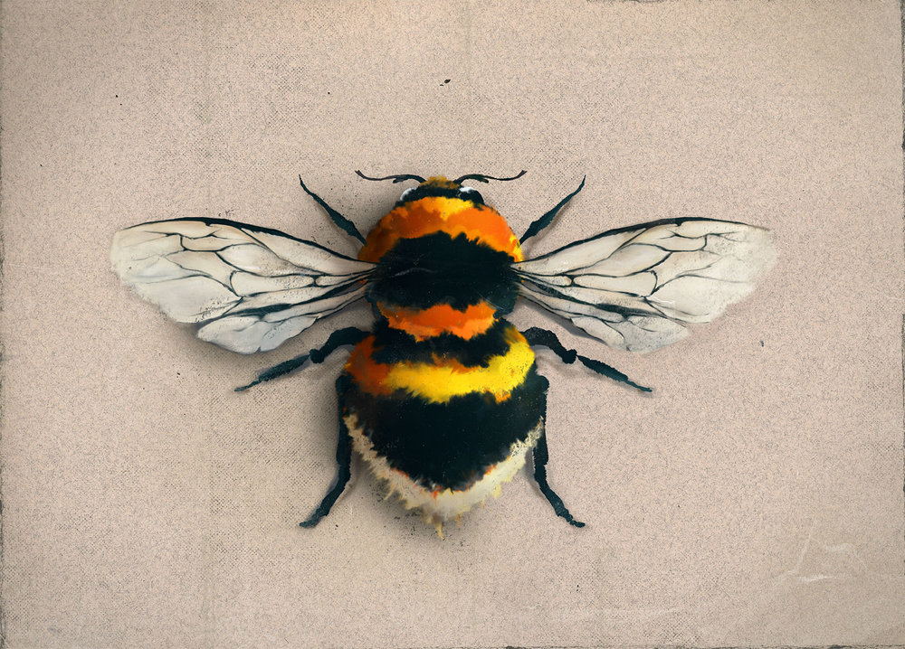 Bombus hortorum_Illustration_Julie Smits