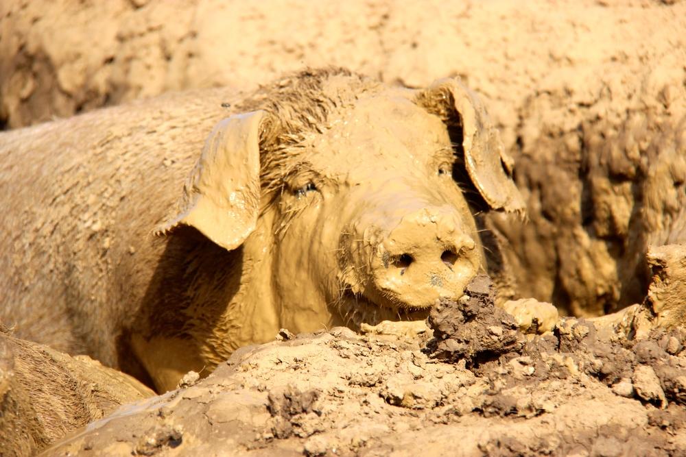 Weideschweine