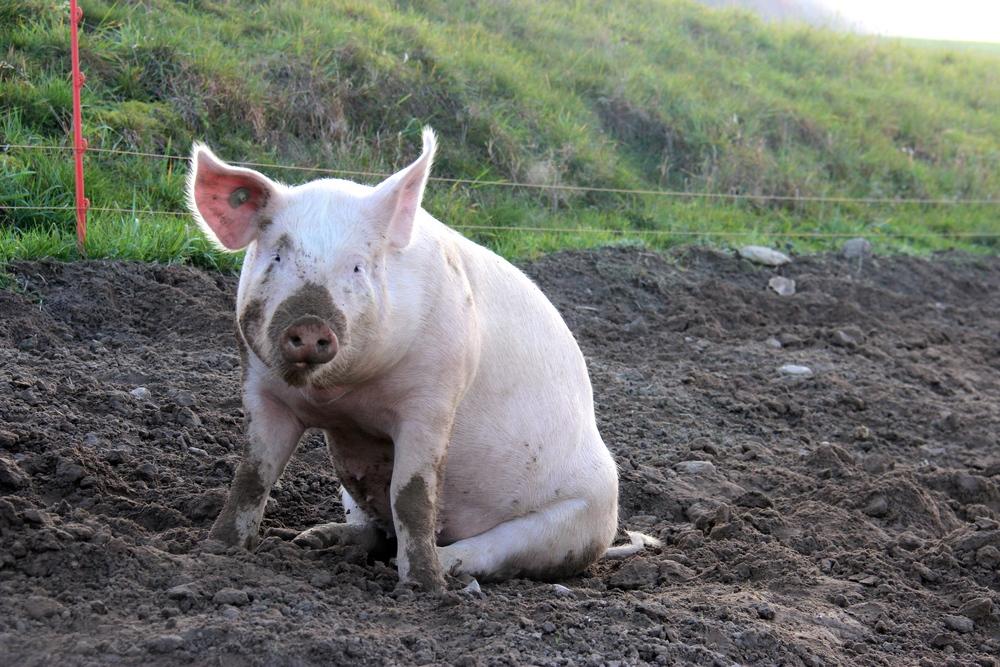Weideschwein
