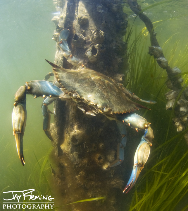 A male Blue Crab, better known as a 'Jimmy' clings to a piling on a Smith Island dock