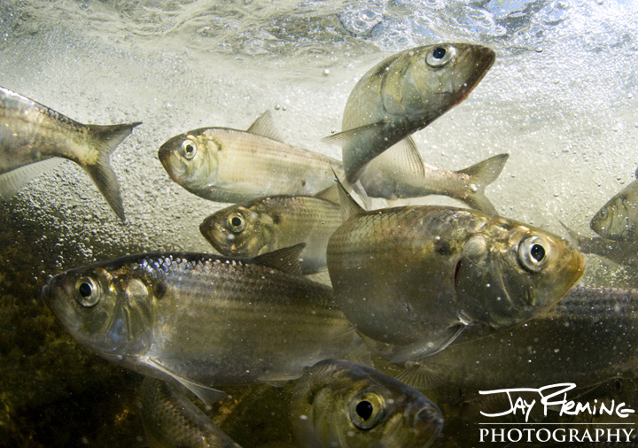 Alewife Herring spawn in a tributary of the Potomac River. Washington DC