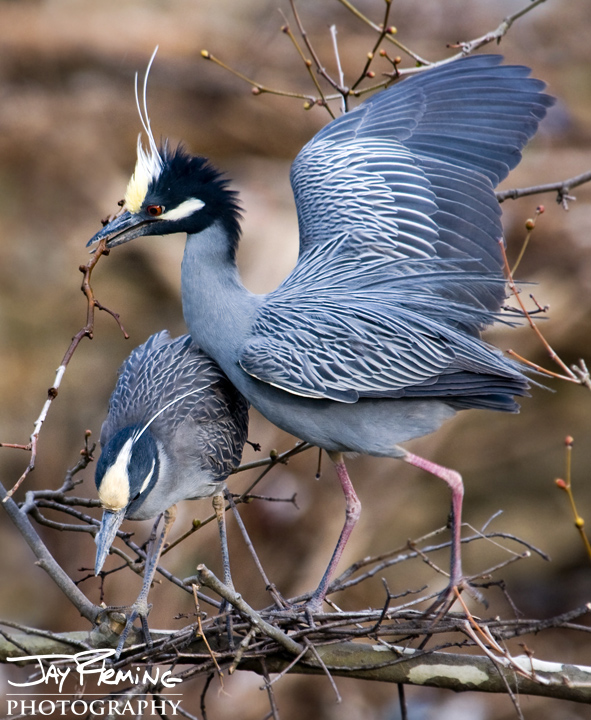 Yellow Crowned Night Herons build a nest at a Baltimore County rookery