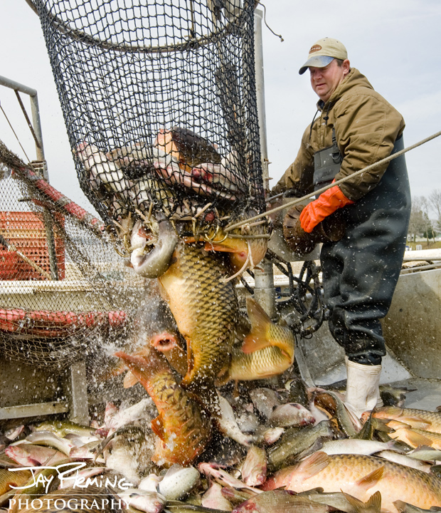 David Edwards takes advantage of the high demand and price for Common Carp that comes with Passover. These fish are commonly used in gefilte-fish.
