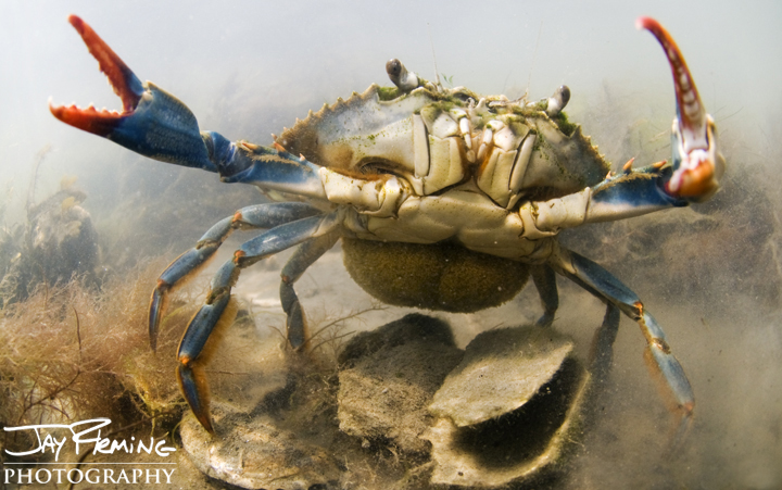 A egg bearing female Blue Crab, known as a sponge crab. Cape Charles, Virginia
