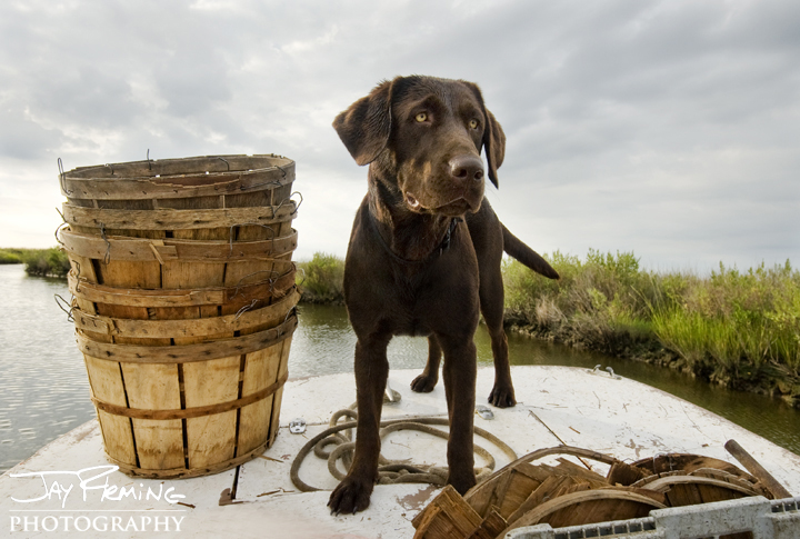 Crabbing Chocolate Lab. Deal Island, Maryland