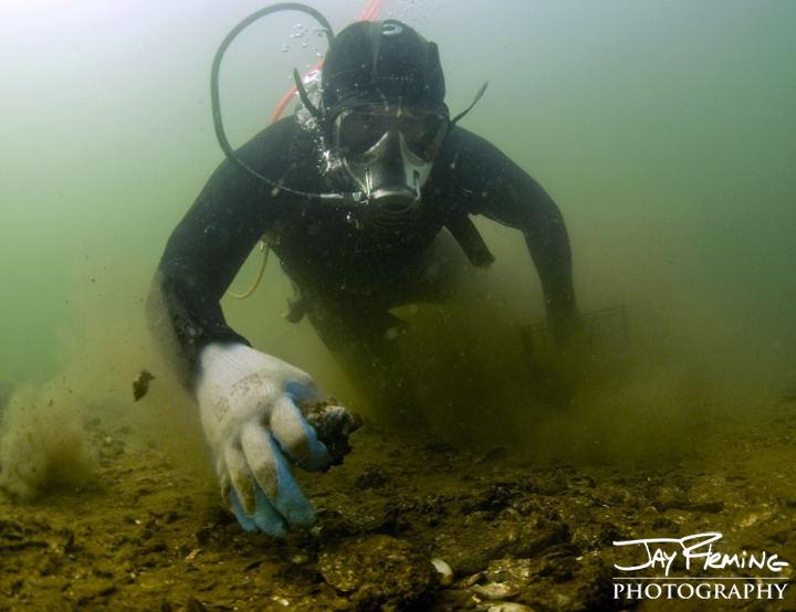 Waterman Derek Wilson diving for oysters in Eastern Bay. October 2014