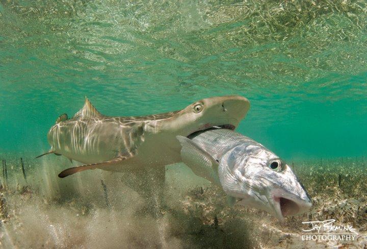 Lemon Shark Mouth