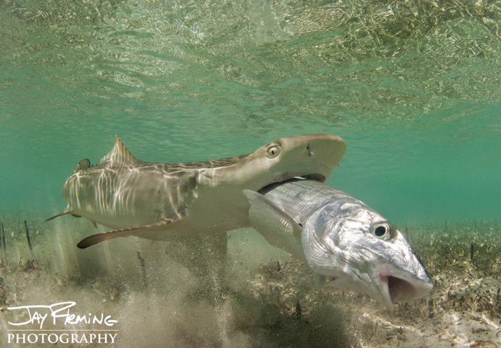 A Lemon Sharks eats a Bonefish. Brigantine Cays