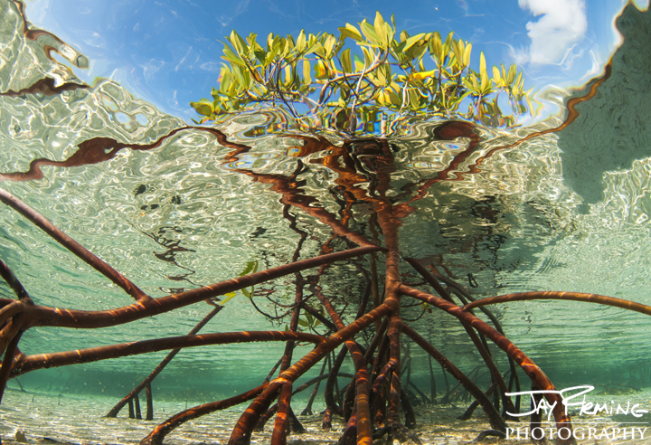 Red Mangrove root system. Bok Cat Cay