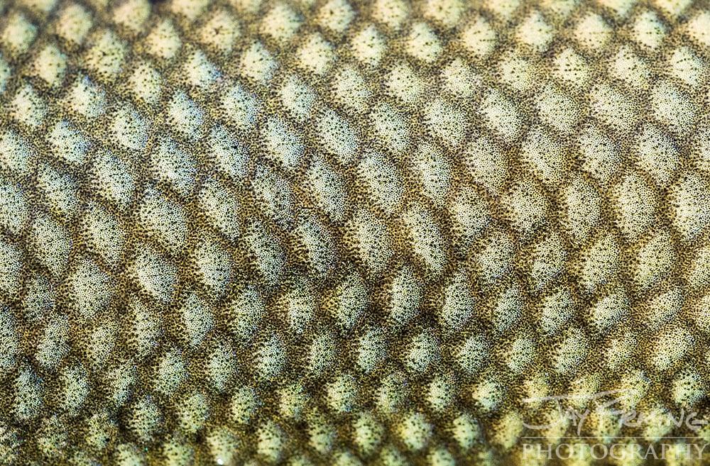 Pine Island, Florida Fish Macro -  © Jay Fleming  01.jpg