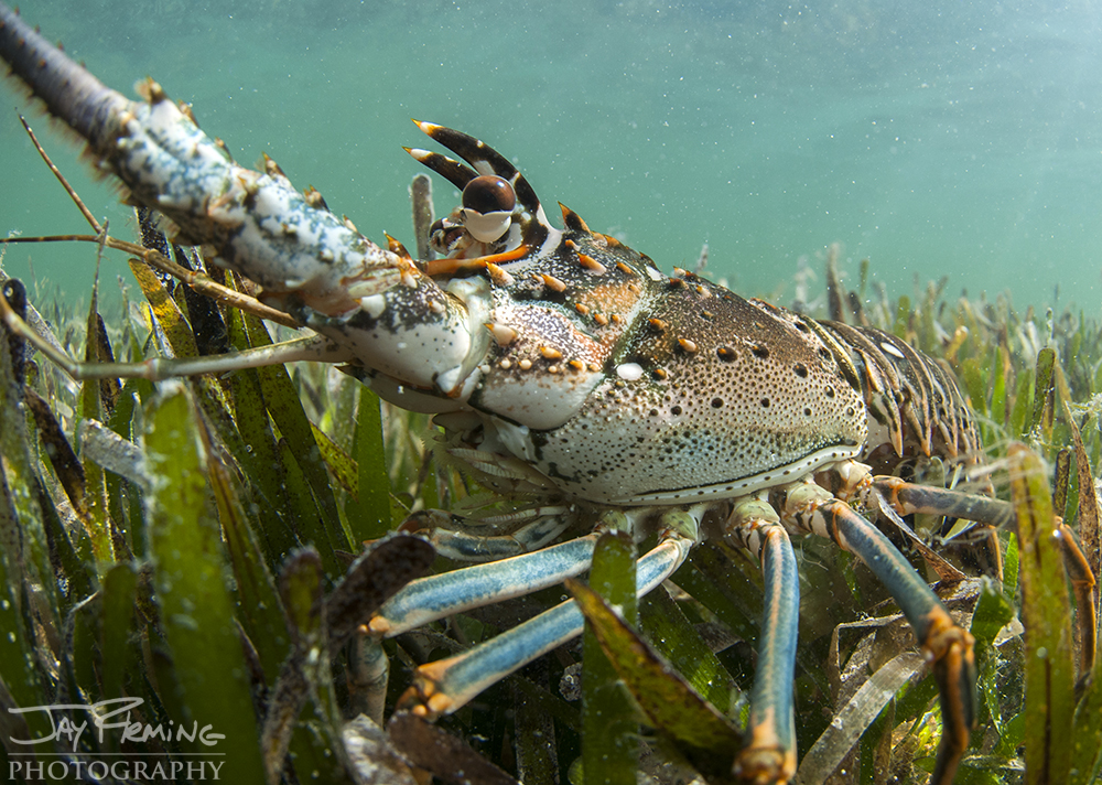 Spiny Lobster, Florida Bay