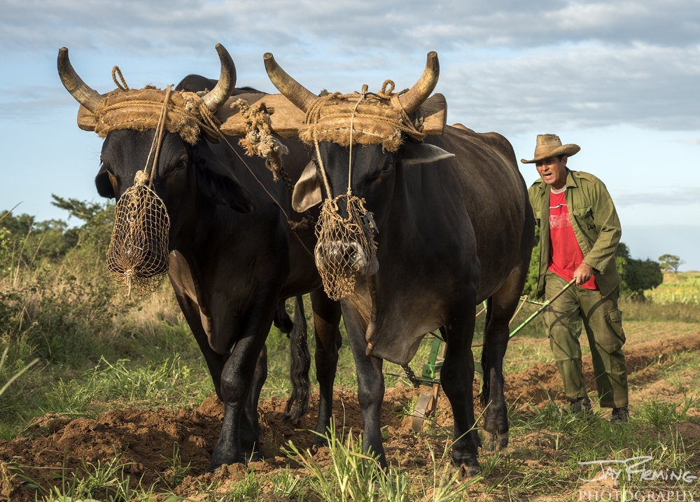 Plowing a field with oxen in preparation for planting with tobacco. Puerto Esperanza