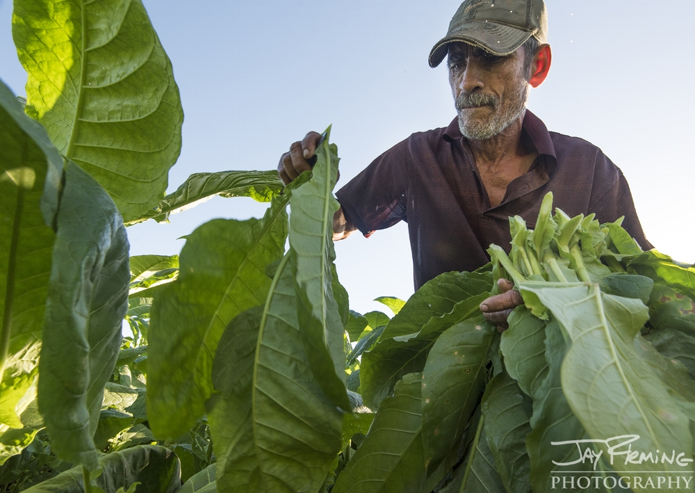 Harvesting tobacco on Diego Barrio's farm just outside of Puerto Esperanza.