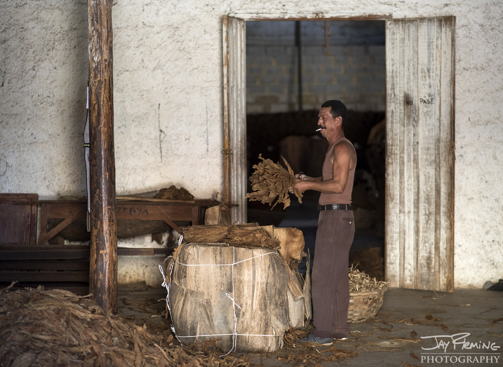 Tobacco is unloaded from the royal palm packaging and sent into the picking room for sorting. Puerto Esperanza