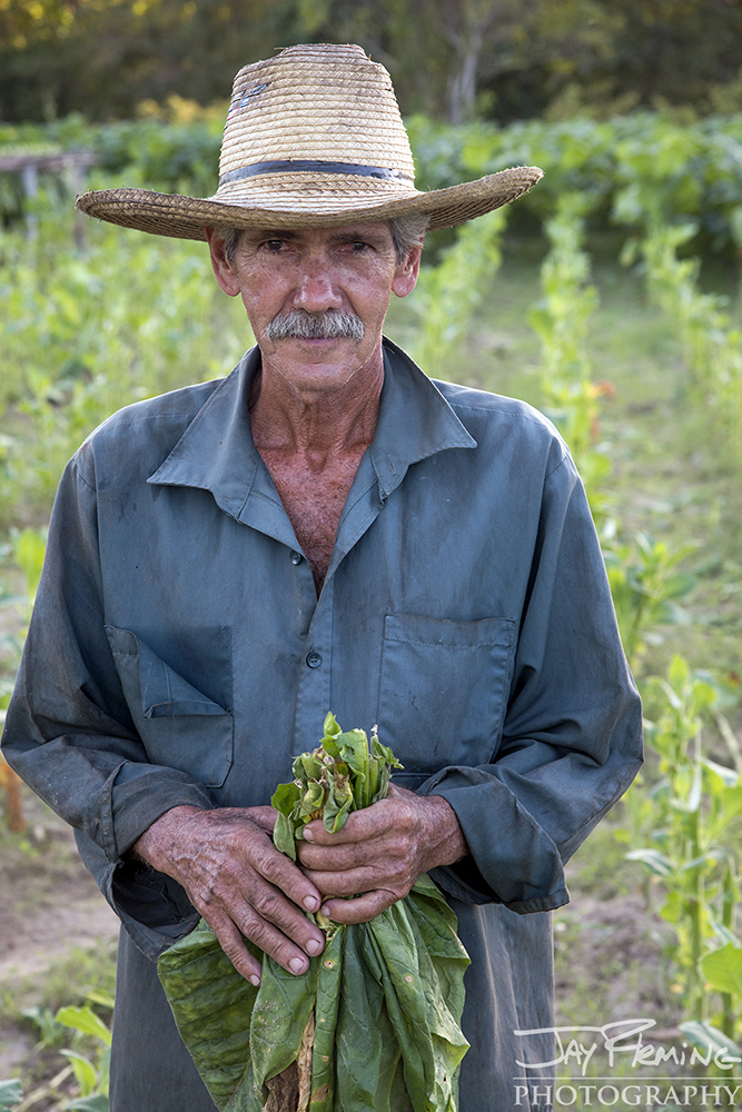 Laborer at the Juan Jose plantation picking tobacco. Pinar Del Rio