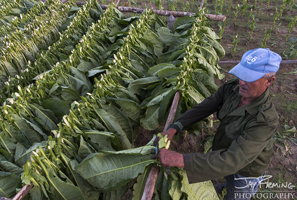 Harvesting tobacco leaves and placing them on a drying rack. Pinar del Rio.