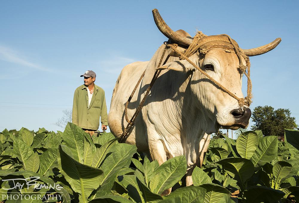 Plowing a path through planted rows of tobacco plants. Pinar del Rio.