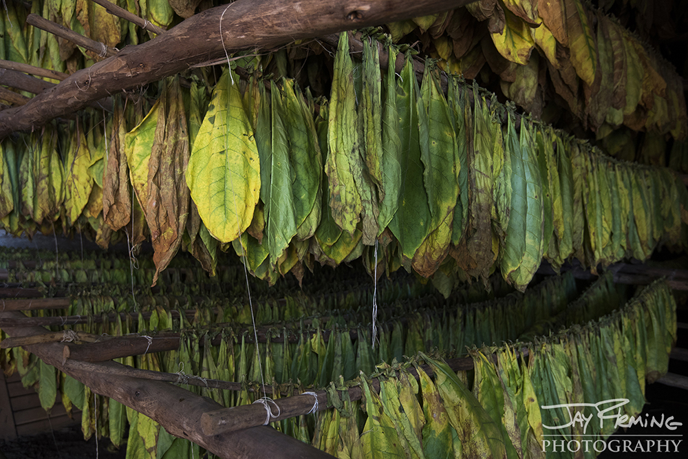 Tobacco leaves drying at the Alejandro Robiano plantation. Pinar del Rio