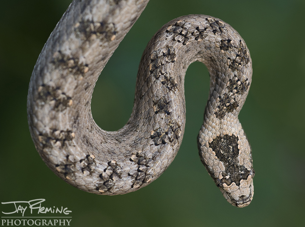 Cuban Wood Snake
