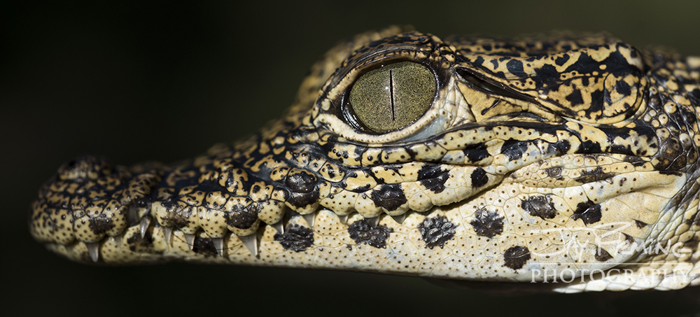 Juvenile Cuban Crocodile