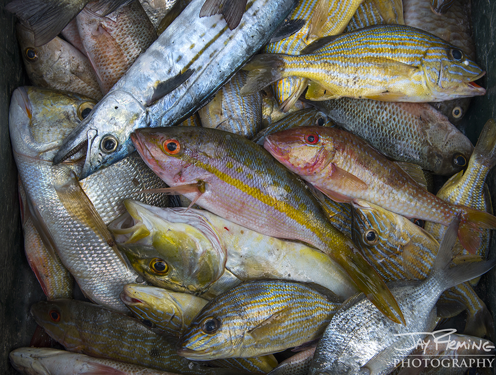 A mixed catch from the Bay of Pigs. Cuban fishermen have very few, if any, regulations on how many and what species of fish they can keep. The most effective method of conservation for the Cuban government is to limit the number of people on the water and to not allow for efficient methods of fishing to be used.