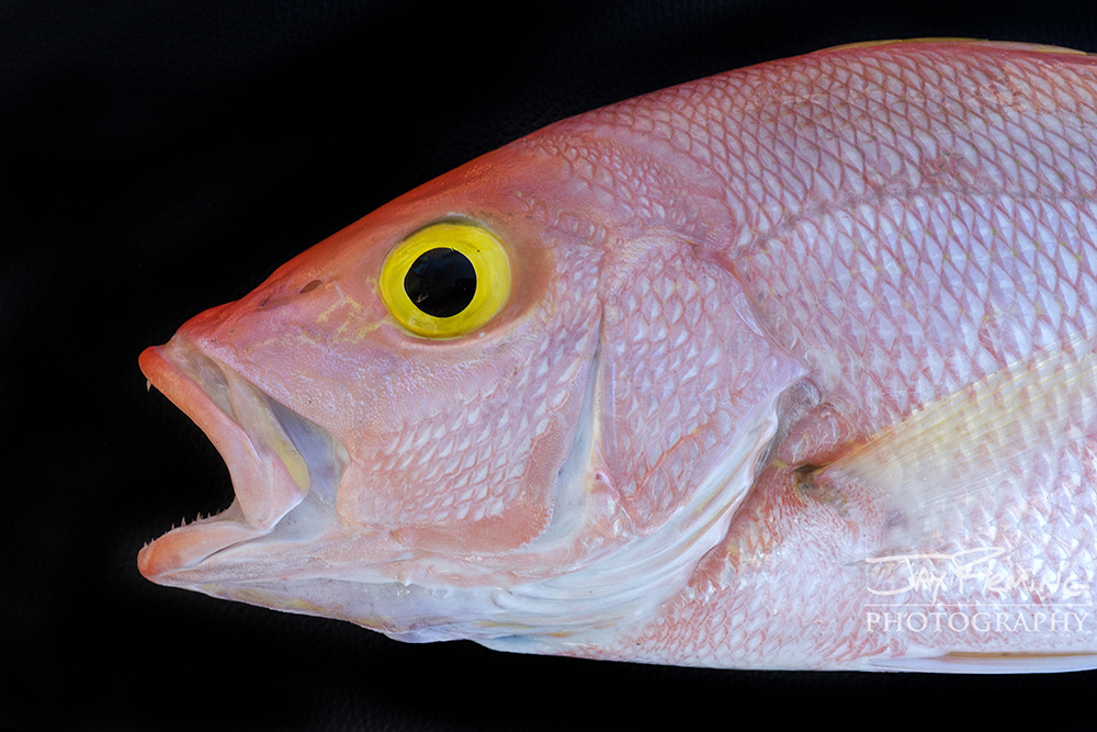 Yellow Eye Snapper - detail