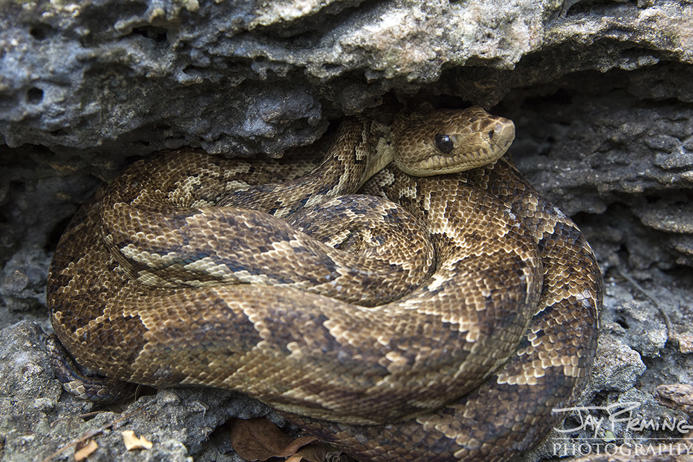 Cuban Boa's live in and near caves where they feed on bats and small rodents. They are known to locals as 'Santa Maria'