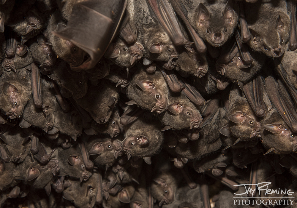 Cuban Fruit Eating Bats huddle together to stay warm during the day in a small cave near Playa Giron.