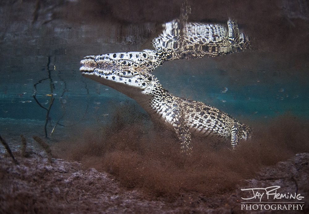 A Cuban Crocodile stirs up the silty bottom of a small wetland near Playa Giron.