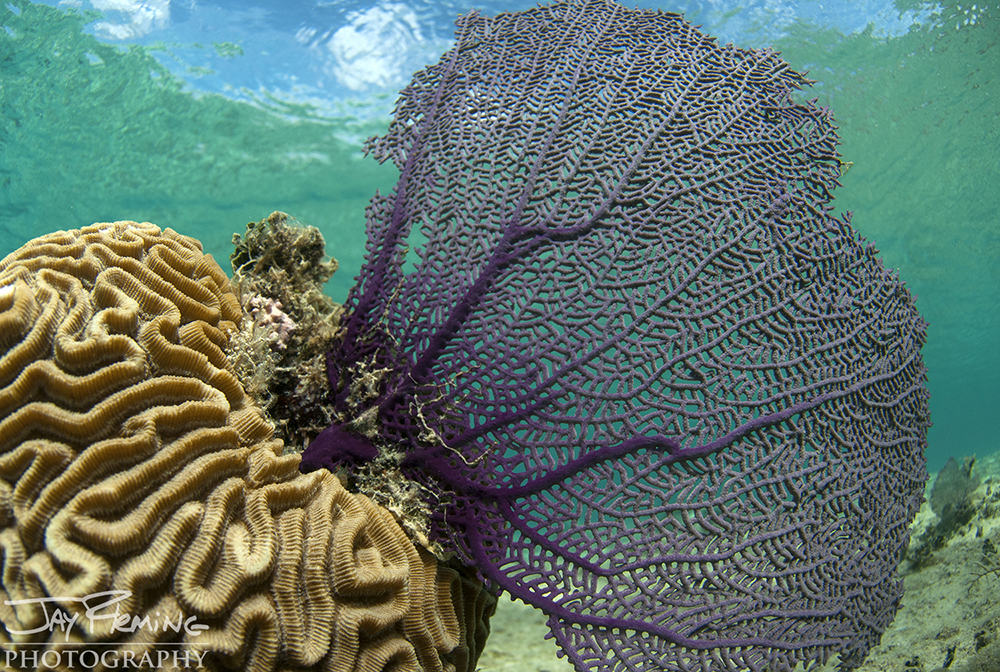 Brain Coral and Sea Fans are common along the shorelines of the Bay of Pigs