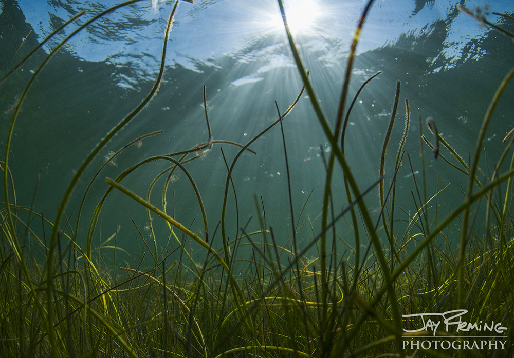 Lush beds of Submerged Aquatic Vegetation thrive in the shallow water habitats adjacent to the mangrove shorelines.