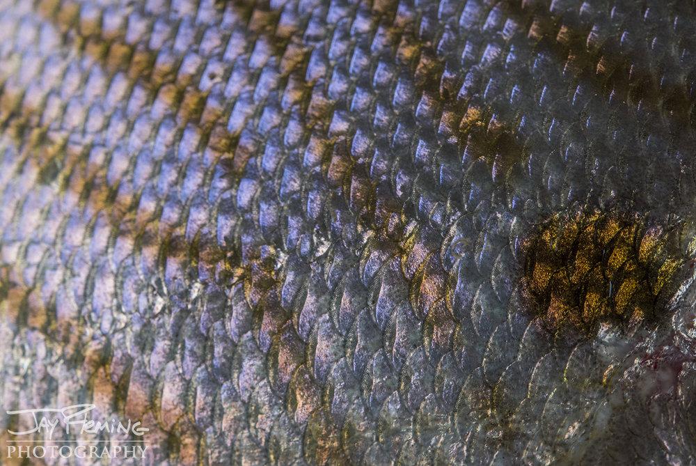 Tangier Sound Fish Details - © Jay Fleming - 04.jpg
