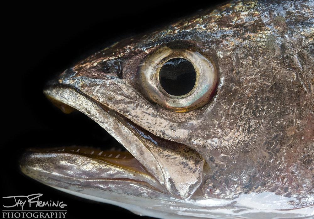 Tangier Sound Fish Details - © Jay Fleming - 05.jpg