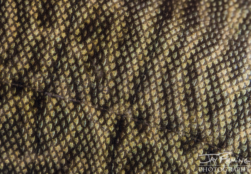 Tangier Sound Fish Details - © Jay Fleming - 07.jpg