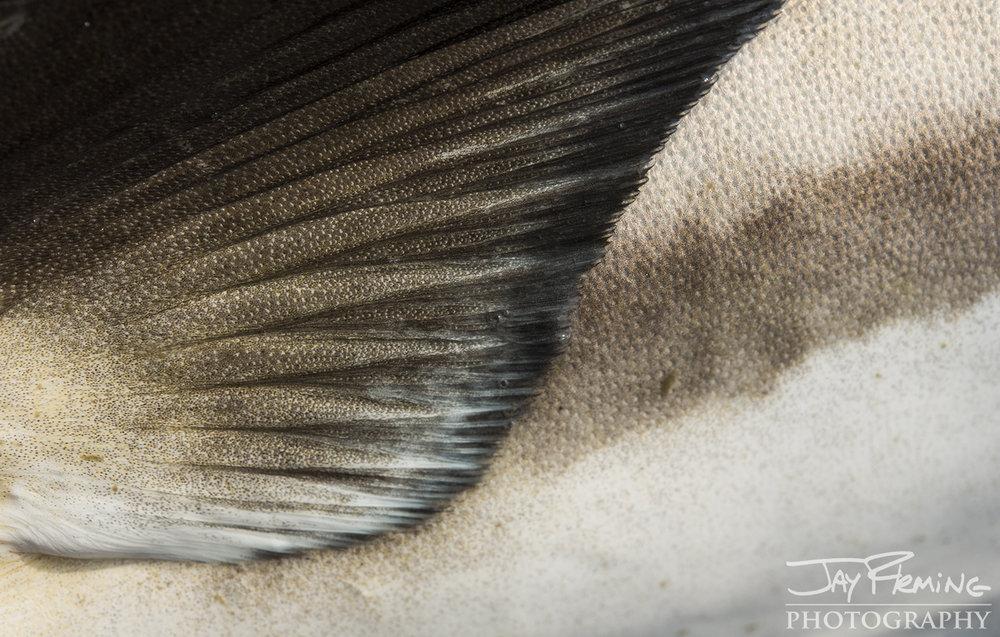 Tangier Sound Fish Details - © Jay Fleming - 08.jpg