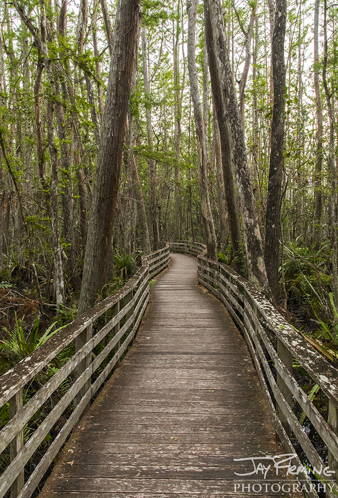 The boardwalk winding through the Audubon Society's Corkscrew Swamp Sanctuary