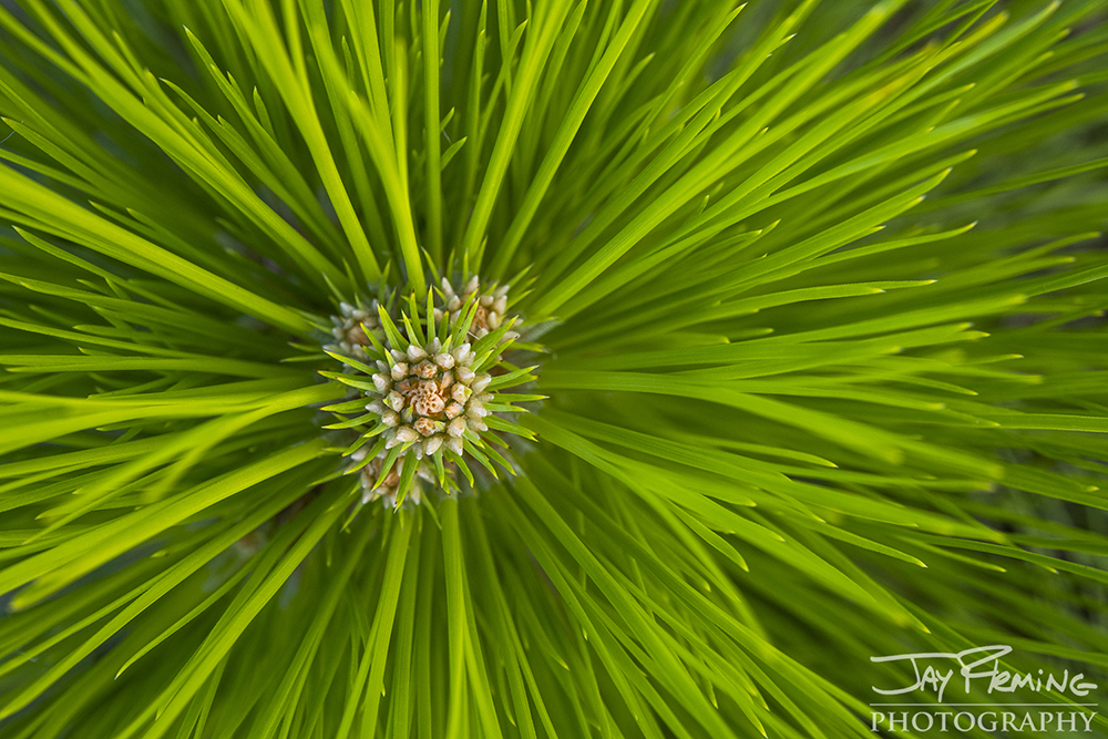 Loblolly Pine sappling