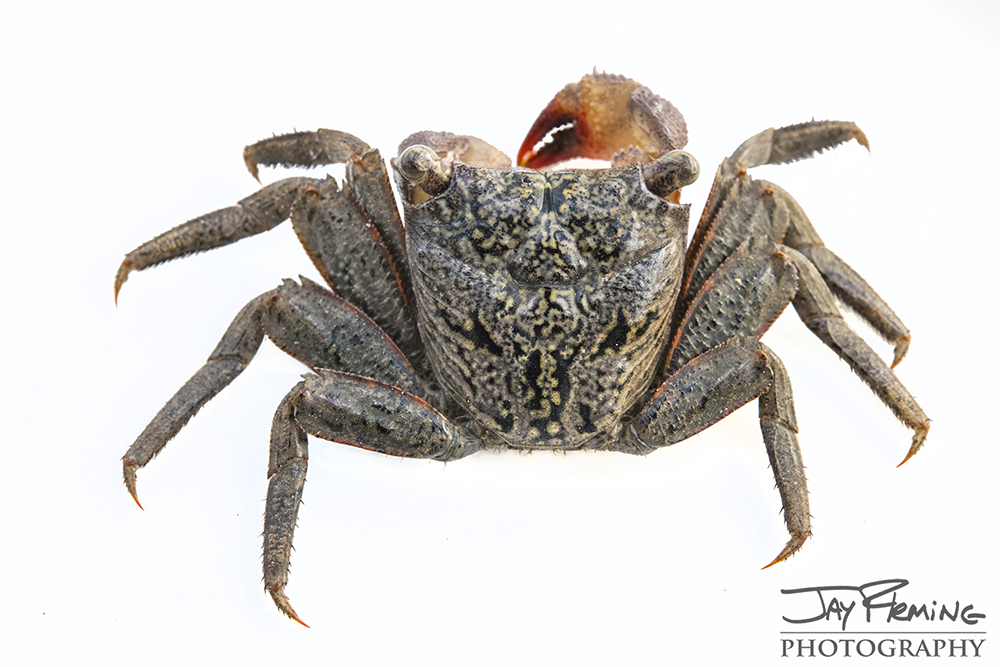 Red Mangrove Tree Crab