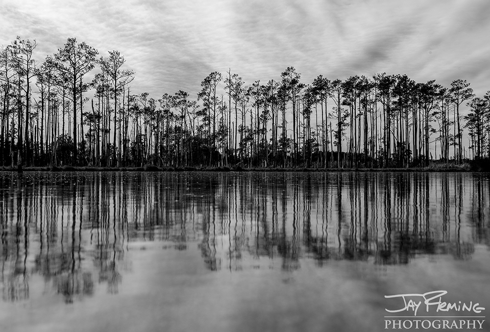 Loblolly Pines reflected on ice in a shallow tidal pond in Blackwater National Wildlife Refuge. Near Golden Hill, Maryland
