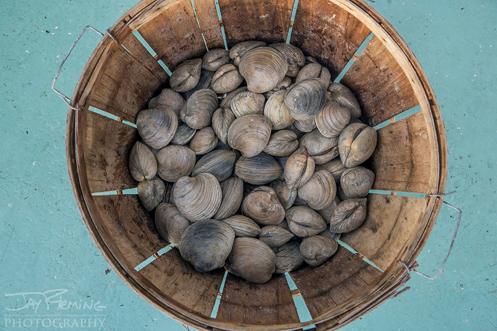 Hard Clams caught as by-catch while dredging on 'Area 1'