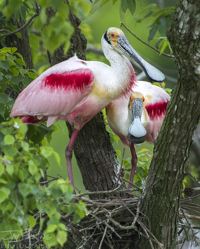 Roseate Spoonbills building nests at the rookery near Jefferson Island.