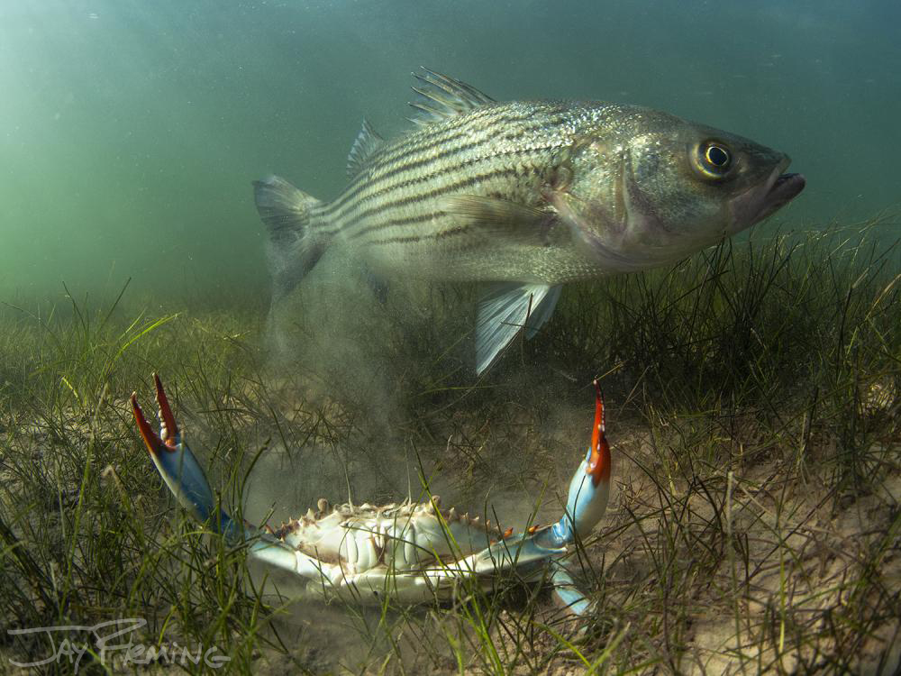 "Rockfish and Blue Crab, 30""x40"" printed on Archival Matte Canvas"
