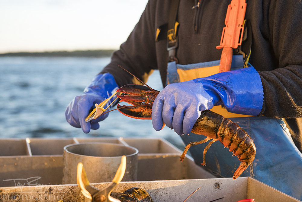 Banding prevents the lobster from being able to use their claws after being caught.