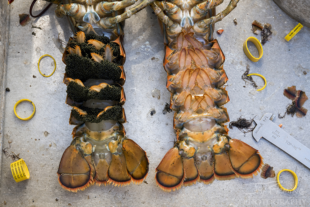 Female lobsters carry eggs on the underside of their tail (left). When caught in a trap, these lobsters are released and notched. Notching the lobsters tail identifies that particular lobster as a reproducing female even after she lays her eggs. All notched lobsters are required to be released to help ensure the sustainability of the lobster fishery.