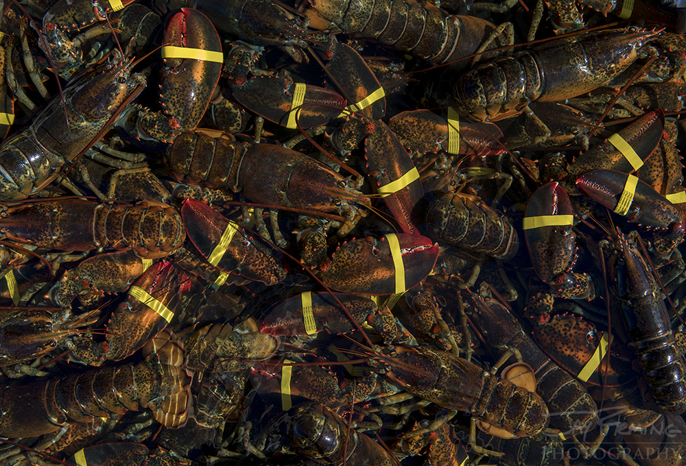 Lobsters are kept alive in holding tanks with recirculating water on the workboats after being pulled out of the traps.