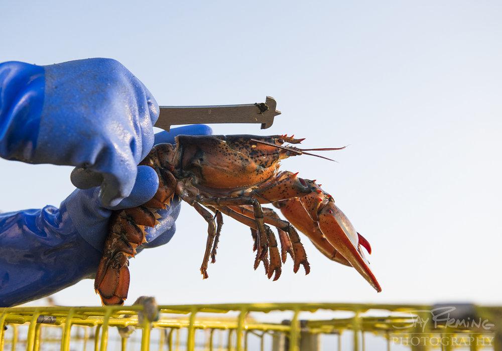 Measuring a lobster.