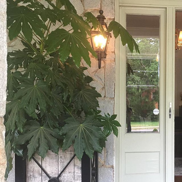 Fatsia on front porch has become monster - time for transplant, right?. & these old  Bobo planters -  had them for years - wish they still made the big ones like these... @visualcomfortco @bobo_intriguing_objects @hawthornehouse #frontporchplants #shadeplants #happyplant #timefortransplant #fatsiajaponica