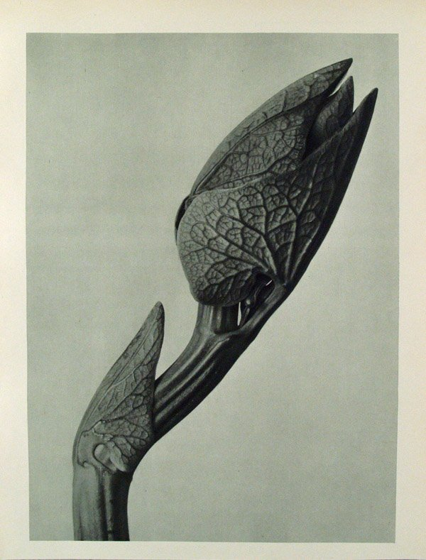 Karl+Blossfeldt+Plate+58+Art+Forms+In+Nature+1928.jpg