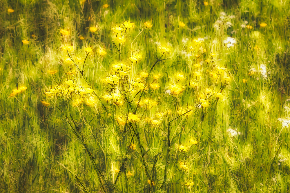 Linda DeStefano Brown,  Buttercup Memories,  digital photography, 23x18