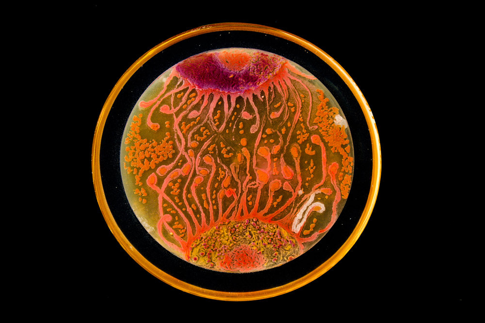 Penil Cobo,  Cell to Cell , Microbes in agar